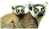 Sifaka with young transparent.png